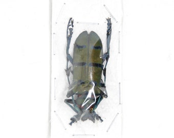2 x Diostocera wallichi tonkinensis | Long-horn Beetles | Insect Specimens for Entomology and Art