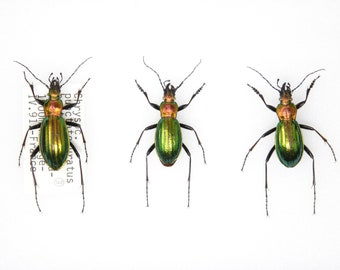 Set of Golden Ground Beetles, Chrysocarabus punctata auratus | Pinned Insect Specimens | Presented in a Gift Box