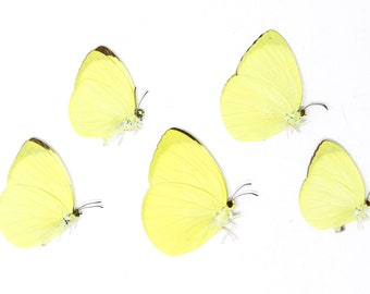 Five (5) The Tree Yellow Butterfly, Gandaca harina, Unmounted Papered Butterflies, Specimens for Collecting, Art, Entomology, School