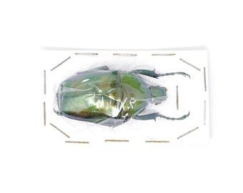 Jumnos ruckeri ruckeri 42.7mm A1 | Thailand Flower Beetle, Entomology Specimen