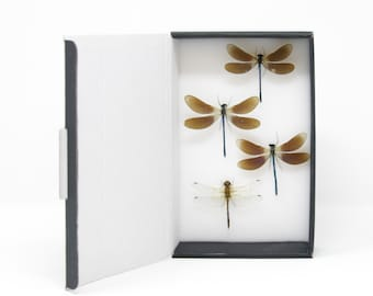 Dragonflies & Damselflies Entomology Starter Collection | Pinned Odonata Insect Specimens | Presented in a Gift Box