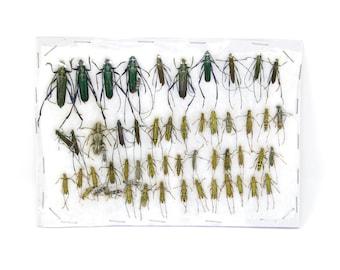 Insect Specimen Collection, Laos 2021 (Southeast Asia) Set #519