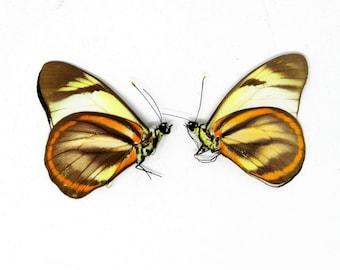 TWO (2) Hesperocharis hirlanda - The Hirlanda White Butterfly, Dry-Preserved Specimens, Entomology Taxidermy Lepidoptera Butterflies