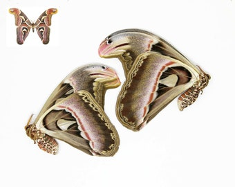 """TWO (2) Giant Atlas Moths 10"""" WINGSPAN! (Attacus atlas) Unmounted Papered Specimens 