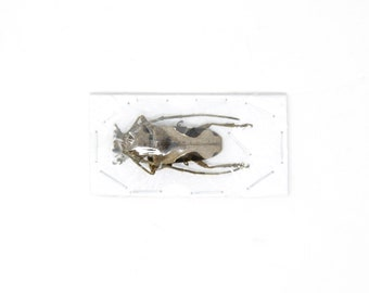 2 x Long Horn Beetles | Paraleprodera crucifera | Ethical Insect Specimens for Entomology and Art
