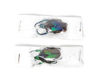 Pair (2) Neptunidae polyhorus manowensis, Dry-Preserved Beetle Specimens, Entomology Coleoptera Taxidermy Insect Art Supplies