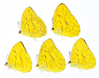 FIVE (5) The Apricot Sulphur Butterflies | Phoebis argante | Ethical Dry-preserved Unmounted Lepidoptera Butterfly Specimens