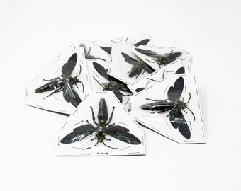 Two (2) Giant Scoliid Wasp XL - Megascolia procer, Dry-Preserved Specimens, Entomology, Taxidermy, Insect Art Supplies | 2.5-3 Inch Wingspan