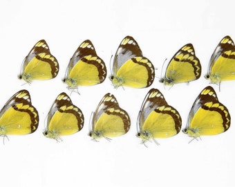 TEN (10) DELIAS ECHIDNA | The Echidna Jezebel Butterfly | Dry-preserved specimens