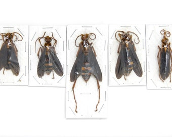 One (1) Giant Parasitic Wasp, Hymenopterans Dry-Preserved Specimen, Entomology Taxidermy Insect Art Hornet Wasp Bees, Predator Wasp