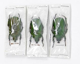 Three (3) Trigonophorus rothschildi, Dry-Preserved Beetle Specimens, Entomology Coleoptera Scientific Specimens