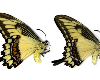 Two (2) Banded Swallowtail Butterflies, Papilio lycophron | Papered Unmounted Butterfly Specimens | Lepidoptera Entomology