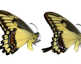Unmounted Butterflies