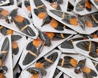 WHOLESALE 20 Orange Cicada Spread Specimens | Tosena paviei 80mm A1 | Entomology Taxidermy Artistic