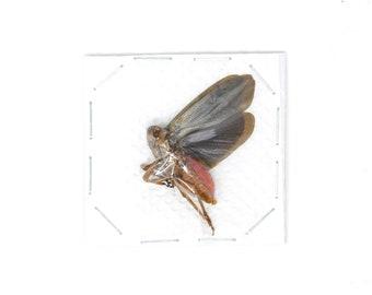 5 x Vampire Lantern Bugs, Fulgoridae Specimens, Scamandra sp, 30-40mm A1