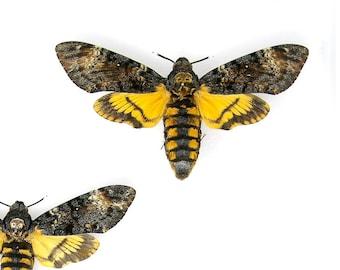 1 x SET PINNED Deaths Head Hawk Moth A1 | Acherontia atropos | Mounted Specimen