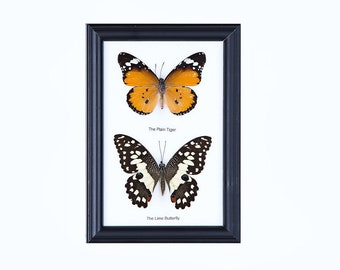 2 Butterflies Framed | Ethical Butterfly Specimens Mounted Under Glass in a Wall Hanging Frame 7 x 5 In. Gift Boxed
