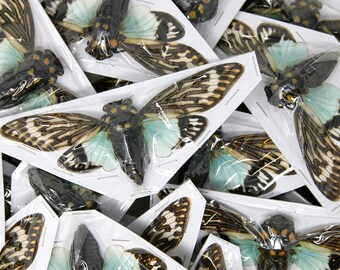 WHOLESALE 20 Blue Cicada Specimens | Tosena splendida 100mm A1 | Entomology Taxidermy Artistic