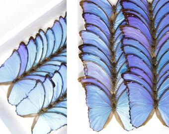 Giant Blue Morpho | WINGS SPREAD | Morpho didius | A1 Set Butterfly Specimen Pinned