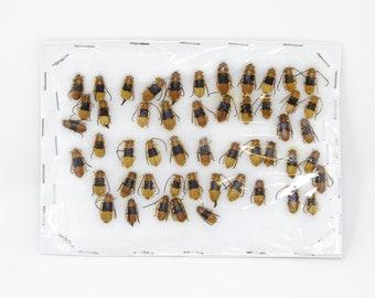 Insect Specimen Collection, Laos 2021 (Southeast Asia) Set #501
