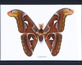 The Giant Atlas Moth (Attacus atlas) | The Worlds Largest Giant Moth! | Unique Taxidermy Wall Decor | 8.5 x 10 inches