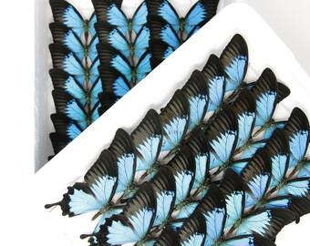 Blue Swallowtail | WINGS SPREAD | Papilio ulysses | A1 Set Butterfly Specimen Pinned in Box
