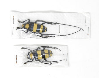 PAIR Nemophas bifasciata, Longhorn Beetles, Dry-preserved Insect Specimens for Collecting - Entomology - Art - Taxidermy
