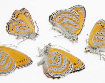 5 Spotted Lilac Tree-Nymph | Sevenia pechueli | Preserved Butterfly Specimens | Wingspan 50mm