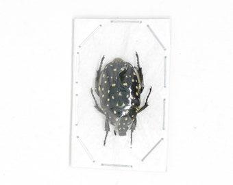 2 x Speckled Fruit Beetles, Platynocephalus niveoguttata, Entomology Specimens for Artistic Creation