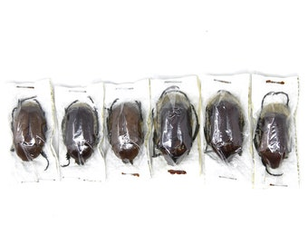 One (1) Diaphonia mniszechi, Dry-Preserved Beetle Specimens, Entomology Coleoptera Taxidermy Insect Art Supplies