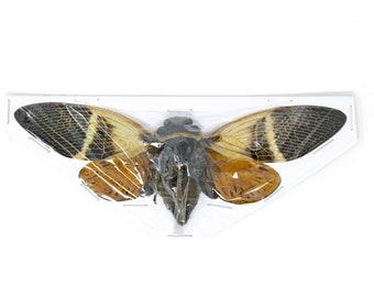 Two (2) Giant Coconut Cicadas, Angamiana floridula 135mm | A1 Spread Specimens, Entomology