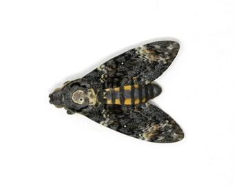 1 x Deaths Head Hawk Moth (Acherontia atropos) | Unmounted Ethical Specimen | The Silence of the Lambs Movie