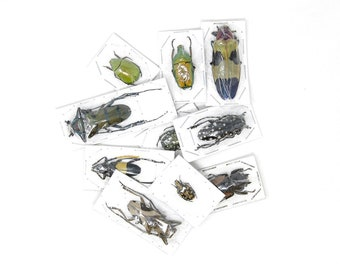 Pack of 5, 10, 25, 100 Assorted Beetles A1 | Unmounted Insect Specimens for Entomology