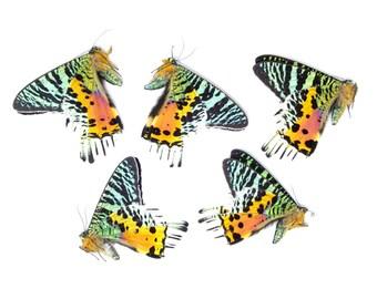 5 x Madagascan Sunset Moths | Chrysiridia rhipheus | Unmounted Papered Specimens for Entomology