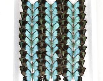 Sea-Green Swallowtail | WINGS SPREAD | Papilio lorquinianus | (A1-) Set Butterfly Specimen Pinned in Box