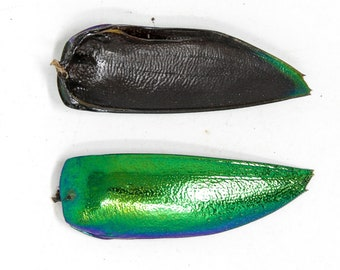 WHOLESALE 1,000 Jewel Beetle Wings   FREE SHIPPING   Sternocera aequisignata   Iridescent Wing Cases Ethically sourced