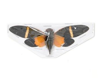 Two (2) Orange Cicada Spread Specimens | Tosena paviei 80mm A1 | Entomology Taxidermy Artistic