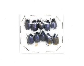 Pack of 10 Small Blue Beetles, Real Dry-Preserved Unmounted Mixed Beetle Specimens OVERSTOCK (Collecting Insects, Entomology, Art)