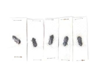Five (5) Figulus regularis, Dry-Preserved Beetle Specimens, Entomology Coleoptera Scientific Specimens