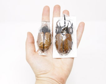 Five-horned Rhinoceros Beetle PAIRS, Eupatorus gracilicornis, Ethical Insect Specimens for Collecting, Art, Entomology, Taxidermy