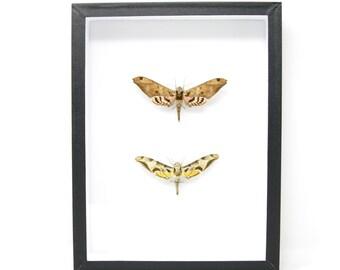 Hawkmoth Taxidermy Specimens | Pinned Lepidoptera, Entomology Box Frame | 12x9x2 inch