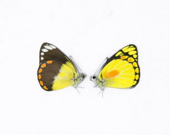 Pair (2) Delias lemoulti, Dry-Preserved Butterfly Specimens, Entomology Lepidoptera Taxidermy Butterflies Insect Art Supplies