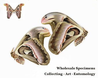WHOLESALE 10 Giant Atlas Moths, Attacus atlas, Preserved Dried & Unmounted Moth Specimens A1 Condition
