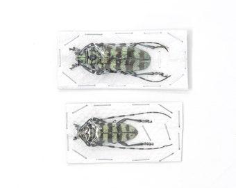 2 x Mint Long-horn Beetles | Anoplophora birmanica Thailand 50-60mm | Insect Specimens for Entomology Art