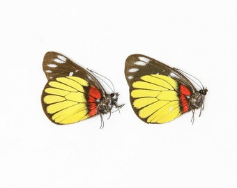 Two (2) Delias crithoe, Dry-Preserved Butterfly Specimens, Entomology Lepidoptera Taxidermy Butterflies Insect Art Supplies