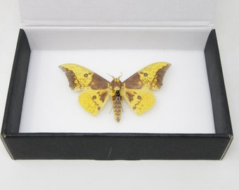 Imperial Silk Moth (Eacles sp.) Entomology Pinned Specimen - Natural Dry-preserved Butterfly Moth Taxidermy