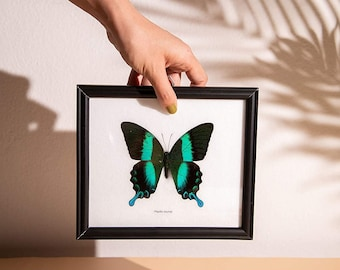 The Green Swallowtail Butterfly (Papilio blumei) Mounted in a Wall Hanging Frame, Taxidermy Home Decor, 8 x 7 inches