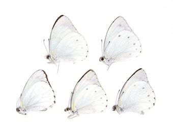 Five (5) The Cambridge Vagrant, Nepheronia thalassina, Unmounted Papered Butterflies, Specimens for Collecting, Art, Entomology, School