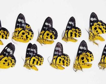 TEN (10) Dysphania militaris   The False tiger moth   Dry-preserved specimens