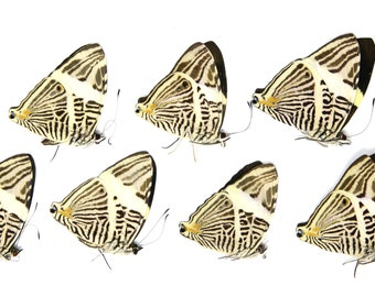 TEN (10) The Zebra Mosaic Butterflies | Colubura dirce | Dry-preserved specimens